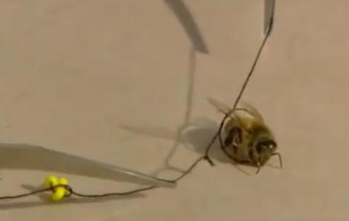 looped honey bee