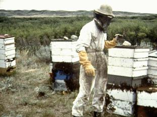 hive honey  colony bees beekeeping Saskatchewan Val Marie